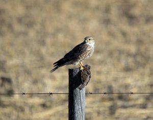 Prairie Falcon Hunting