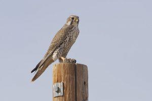 Prairie Falcon Images