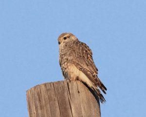 Prairie Falcon Juvenile