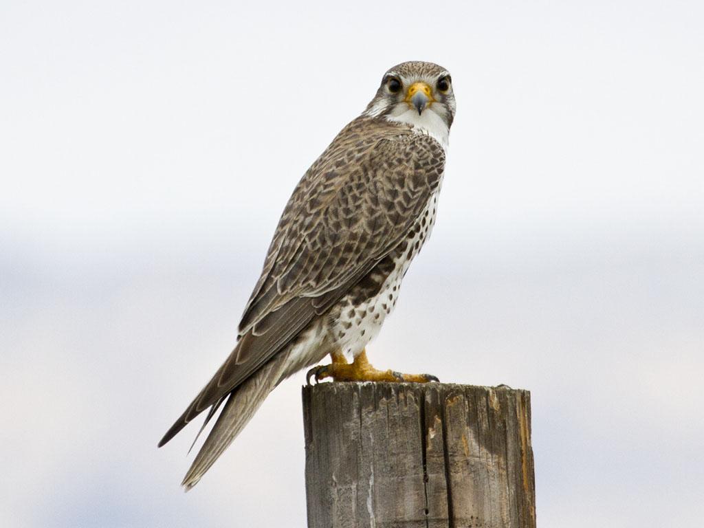 Hinterland Whos Who - Peregrine Falcon