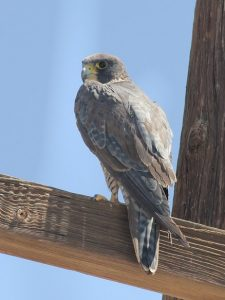 Prairie Falcon Tail