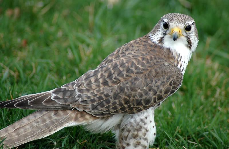 Lanner Falcon - Pennsylvania Falconry & Hawk Trust