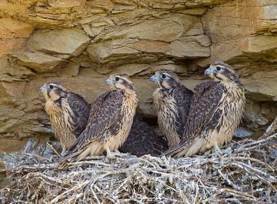 prairie falcon facts pictures habitat predators pictures. Black Bedroom Furniture Sets. Home Design Ideas