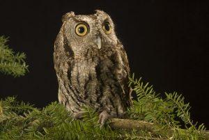 Western Screech Owl Bird