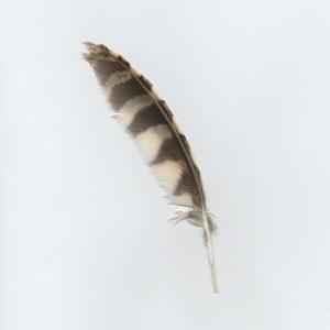 Western Screech Owl Feather