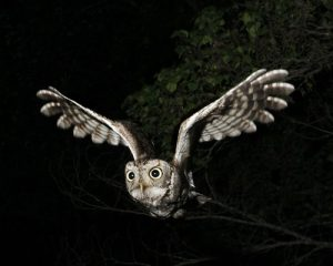 Western Screech Owl Flying