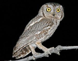 Western Screech Owl Images