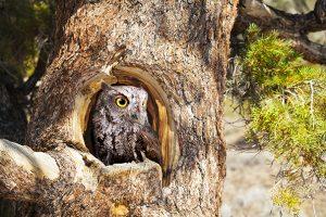 Western Screech Owl Nest