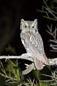 Western Screech Owl Pictures