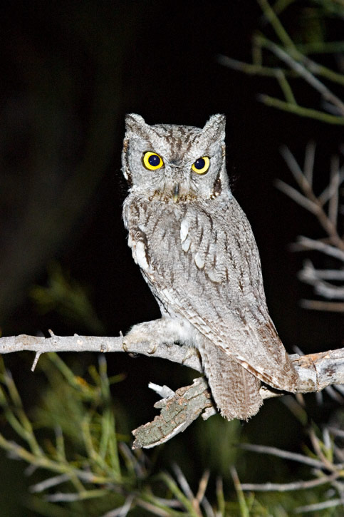 Western Screech Owl Facts Habitat Diet Life Cycle Baby