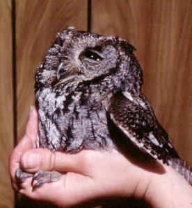 Western Screech Owl Size