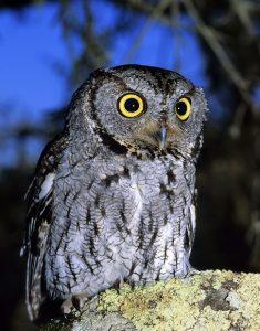 Western Screech Owls