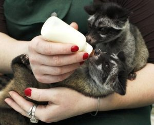 Asian Palm Civet Babies