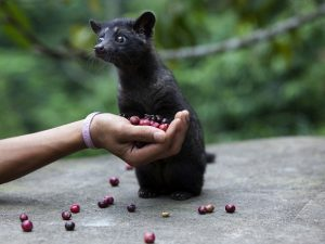 Asian Palm Civet Baby