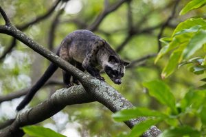Asian Palm Civet Images