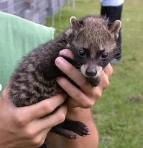 Asian Palm Civet Pet