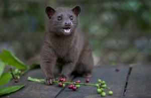 Asian Palm Civet Photos