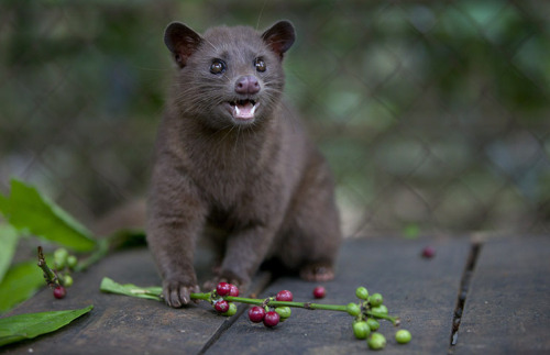 The Asian Palm Civet