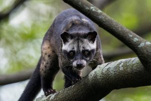 Asian Palm Civet Pictures