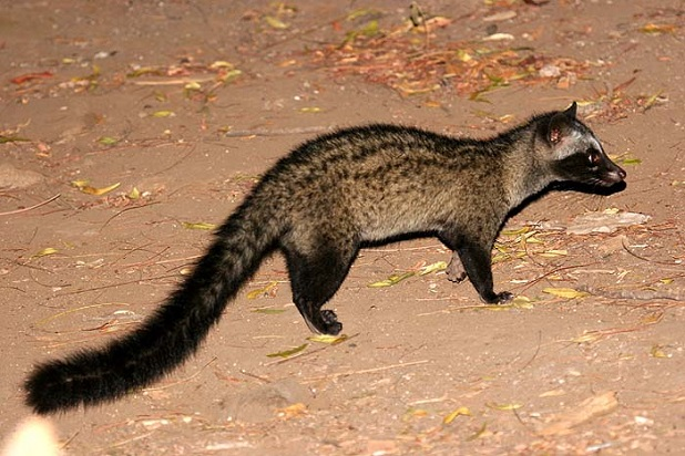 Asian Palm Civet: Wikis