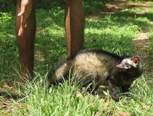 Asian Palm Civets
