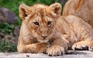 Asiatic Lion Baby