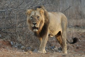 Asiatic Lion Images