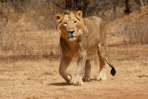 Asiatic Lion Photos