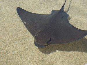 Bat Ray Fish