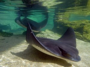 Bat Ray Images