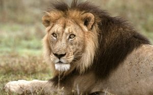 Images of Asiatic Lion