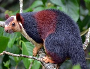 Indian-Giant-Squirrel-300x228.jpg
