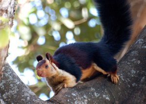 Indian Giant Squirrel Images