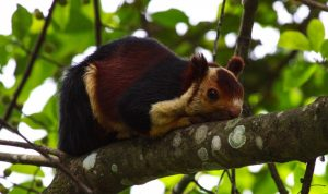Indian Giant Squirrel Photos