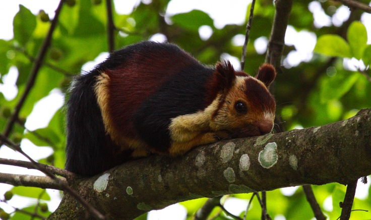 Indian Giant Squirrel Information, Range, Diet, Pictures