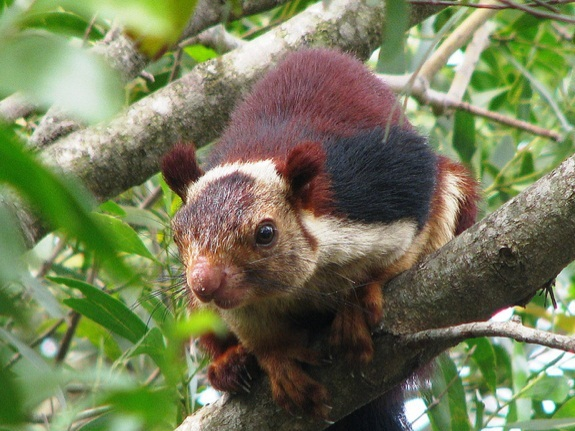 essay on giant squirrel of maharashtra