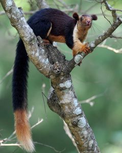 Indian Giant Squirrel Size