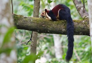 Indian Giant Squirrel Tail