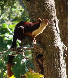 Indian Giant Squirrel Teeth