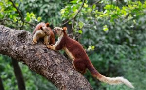 Indian Giant Squirrels