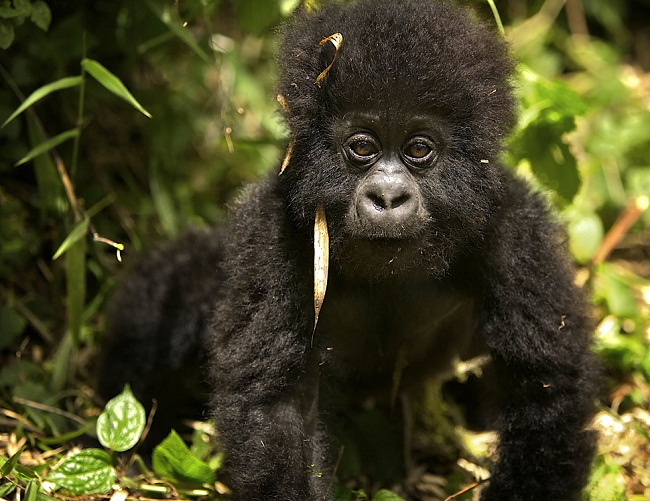 Mountain Gorilla Facts, Habitat, Diet, Life Cycle, Baby, Pictures