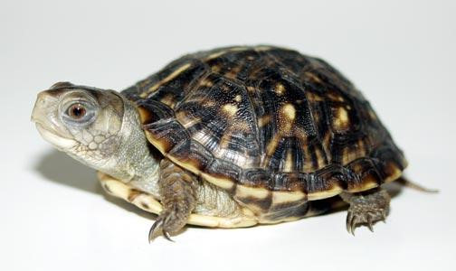 Ornate Box Turtle Facts Habitat Diet Adaptations Video