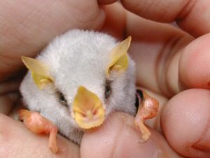 Honduran White Bat Pet