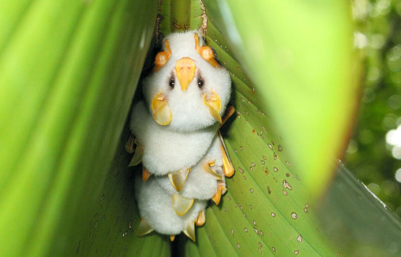 These pretty little white fellows from Central America live in a tent of Heliconia leaves, eat fruit, and can grow only up to 1.5 inch (4.7 cm) in length. | photo by nationalgeographic