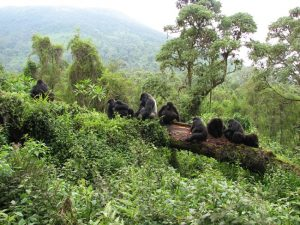 Mountain Gorilla Habitat