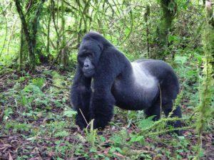 Mountain Gorilla Images