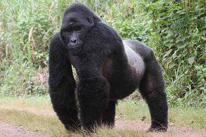 Mountain Gorilla Pictures