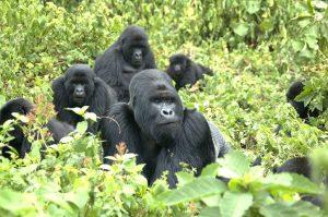 Mountain Gorillas Pictures