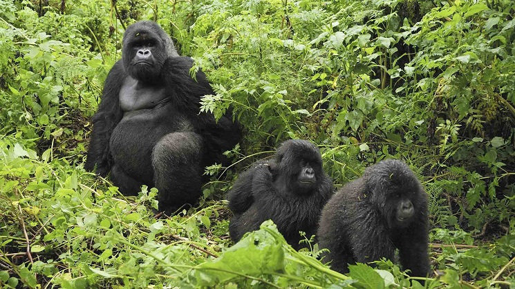 Mountain Gorilla Facts Habitat Diet Life Cycle Baby