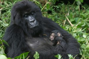 Newborn Mountain Gorilla